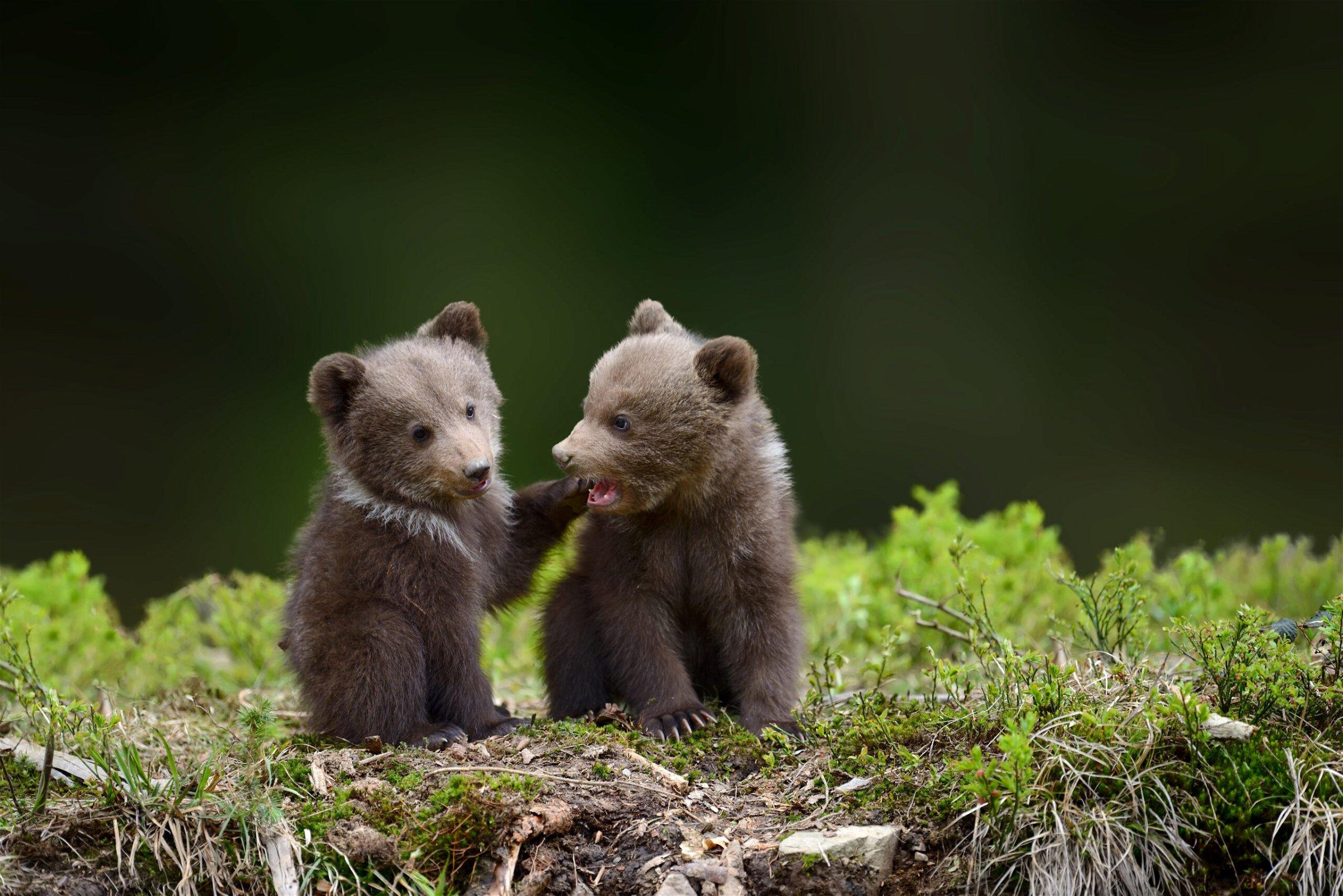 Bears Hunted in Denali