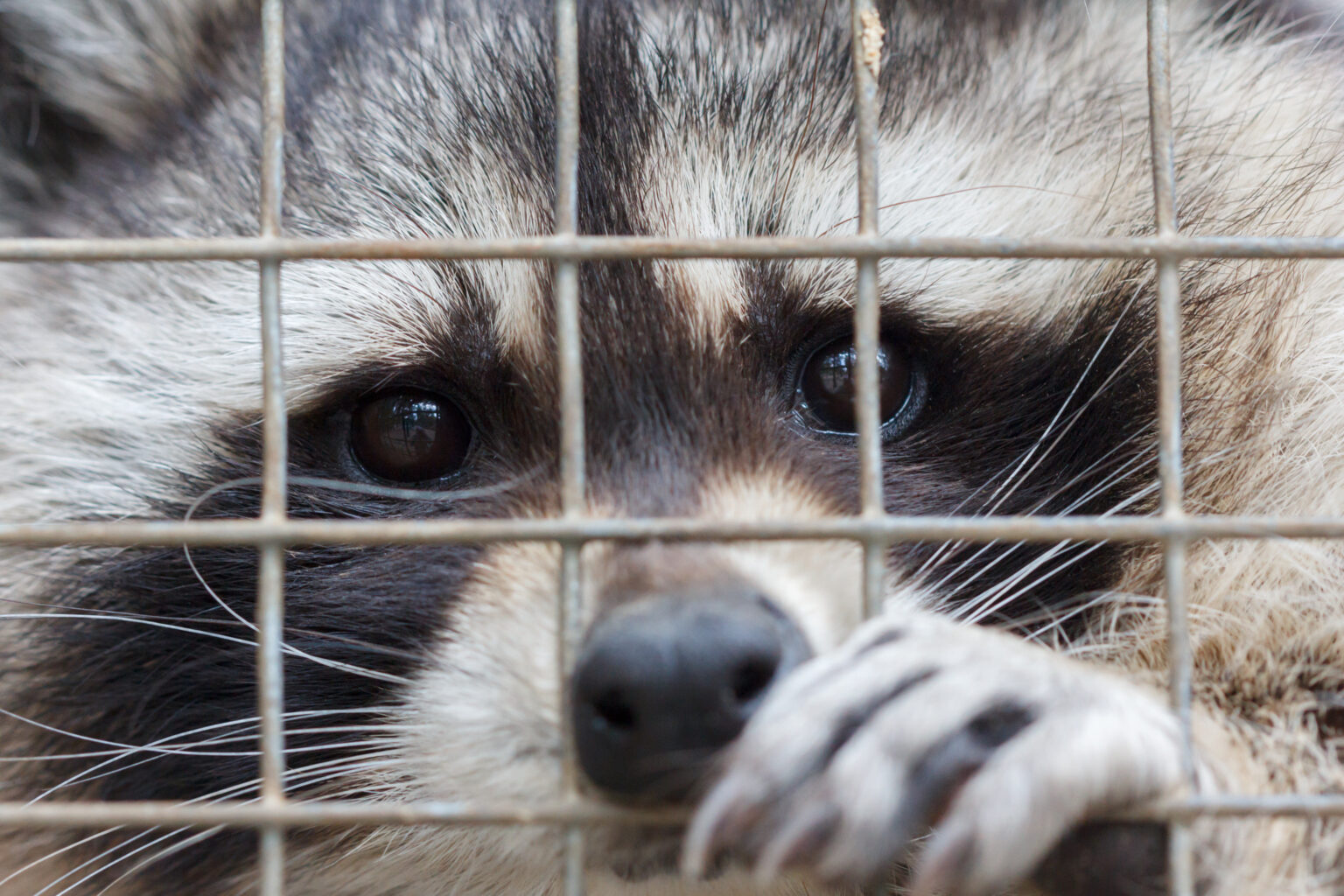 Raccoon in cage