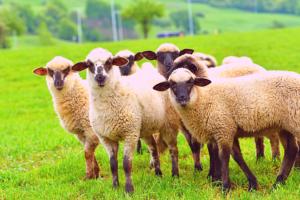 Antivax-sheep